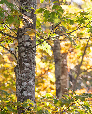 Trees in Whitten Woods