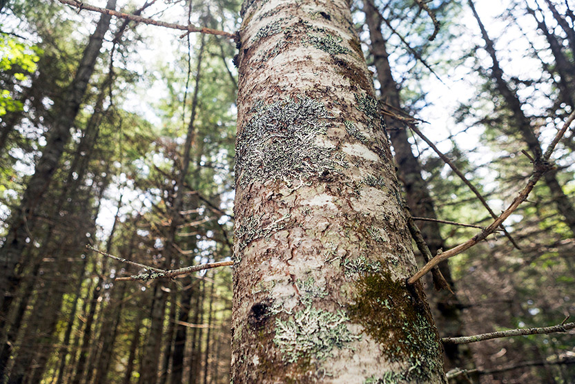A fir tree in a Downeast Maine forest